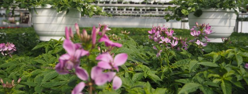 Minnan puutarhalla oli kauniita kukkia