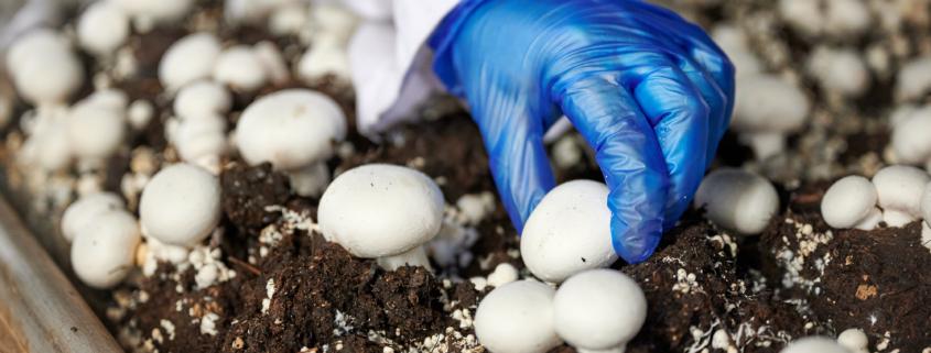 Kuvassa poimitaan sieniä kasvatushuoneessa.
